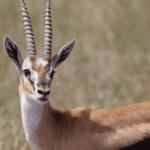 湯姆森蹬羚
