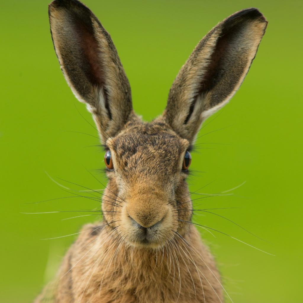 黑尾長耳大野兔