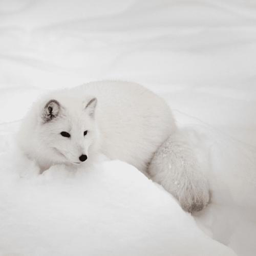 北極冰原中的神祕生物:北極狐
