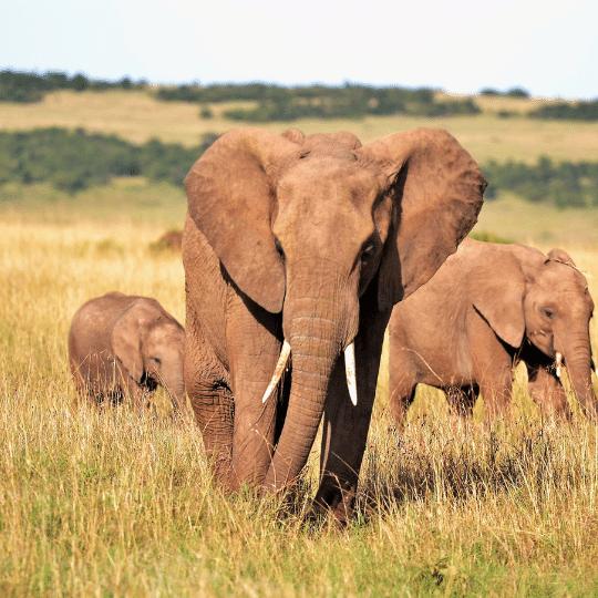 陸地上體型最大的動物:大象介紹